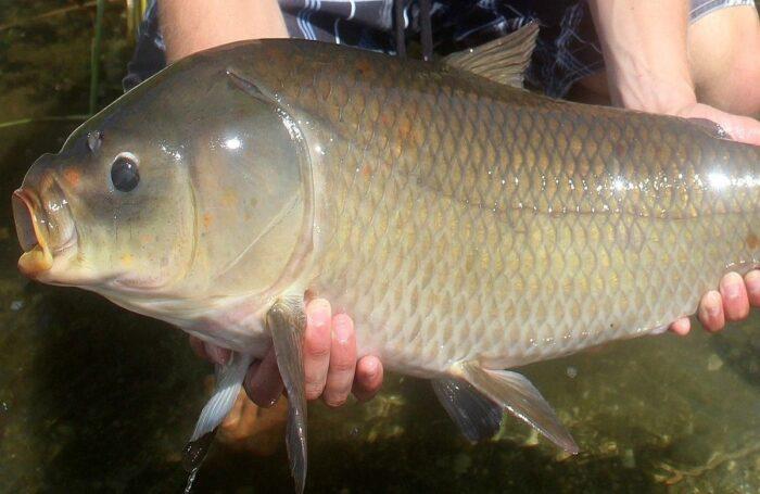 Рыба буффало