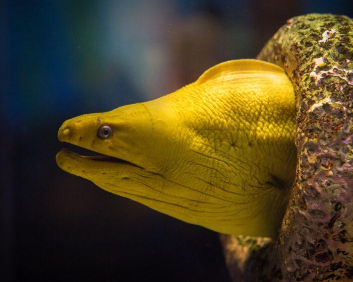 Золотая (желтая) мурена