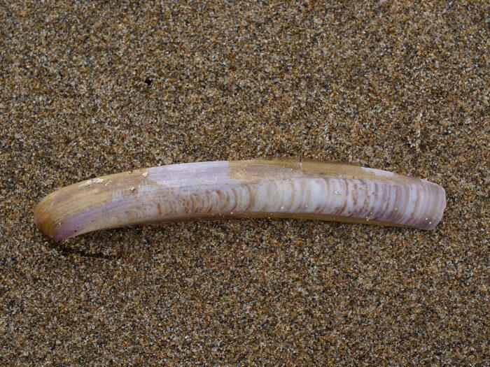 Морской черенок