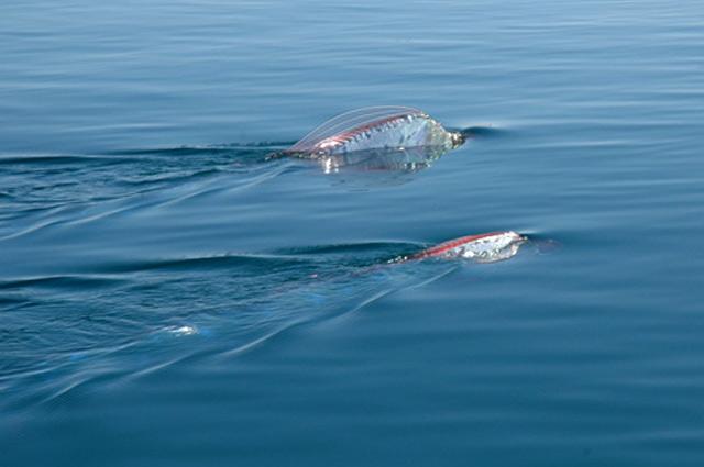 Рыба ремень