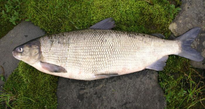 Северная рыба щекур