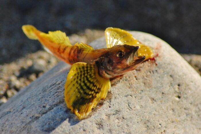 Бычок желтокрылка