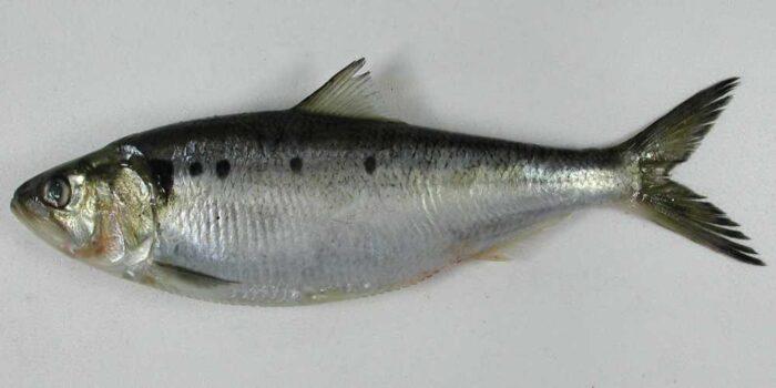 Каспийско-черноморская