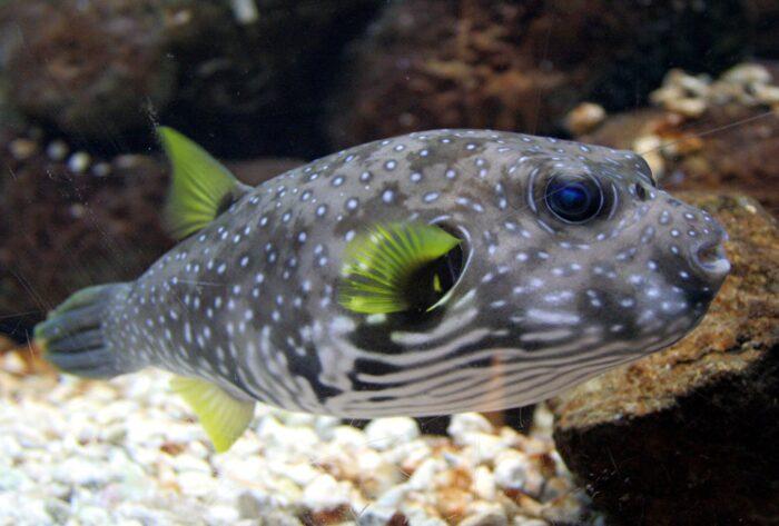 Аротрон колючий рыба
