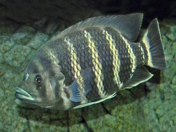 Рыба Нильская тиляпия