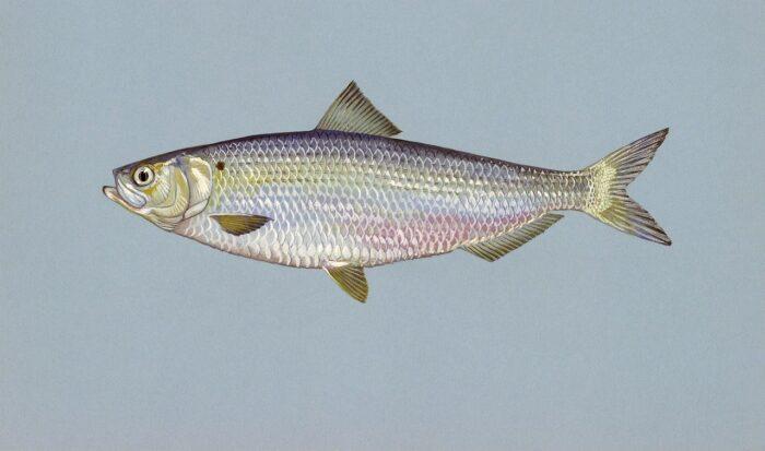 рыба сельдь