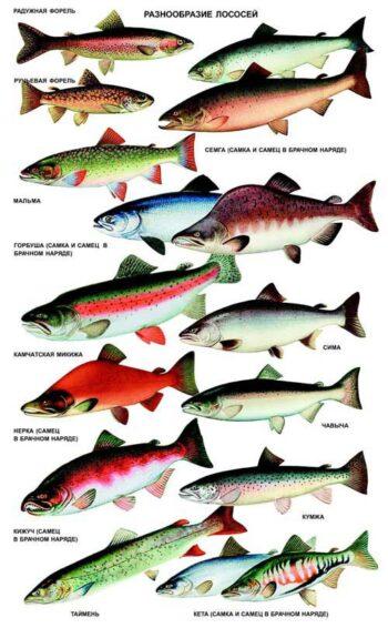лососевые