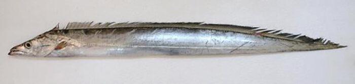 Рыба сабля