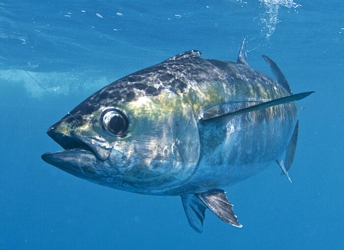 Большеглазый тунец