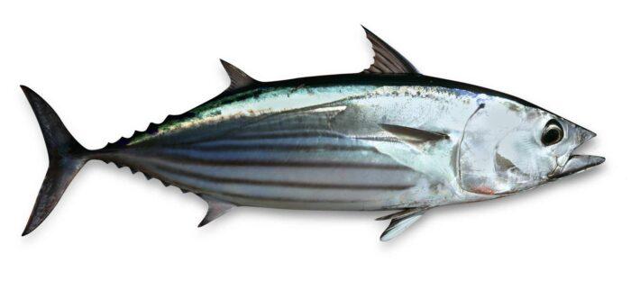 Полосатый тунец