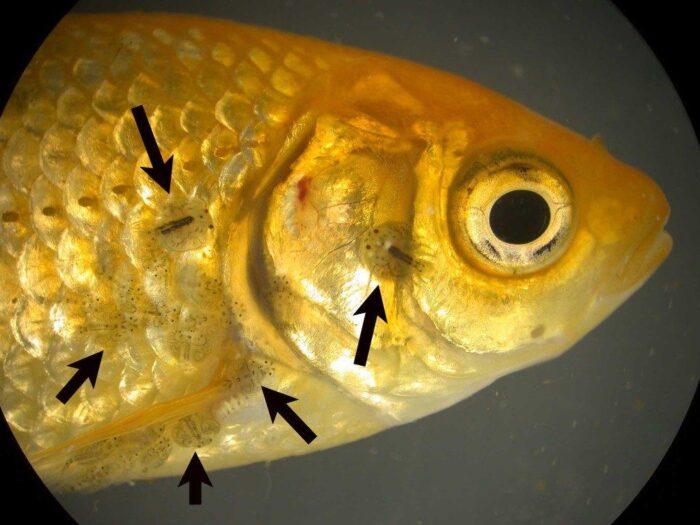 Заболевание рыб
